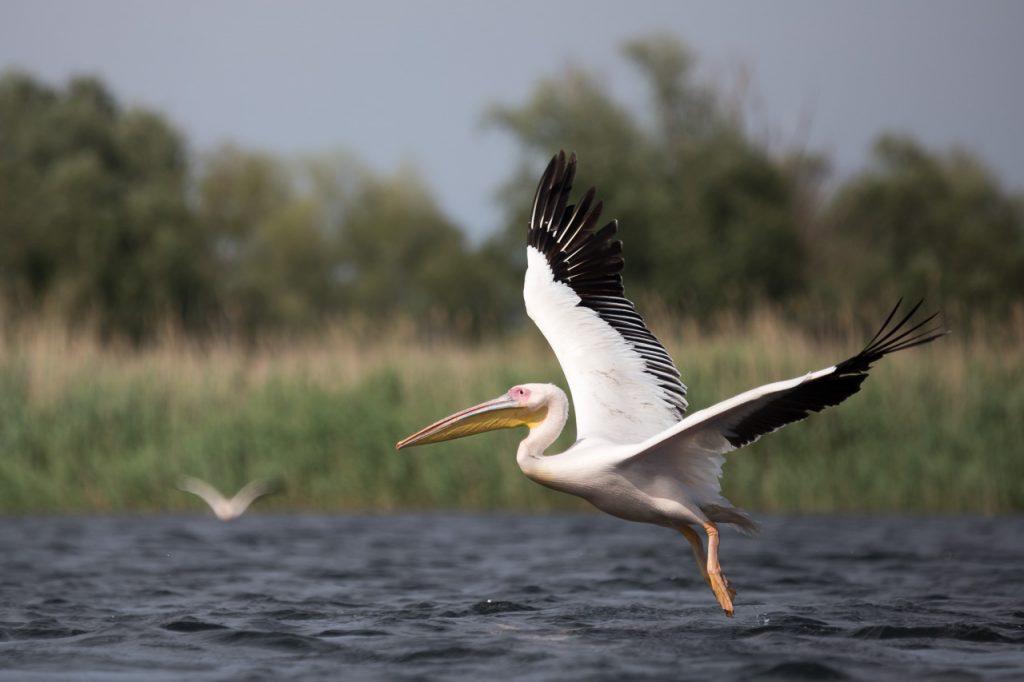 pelican tura delta dunarii fotograf ionescu vlad