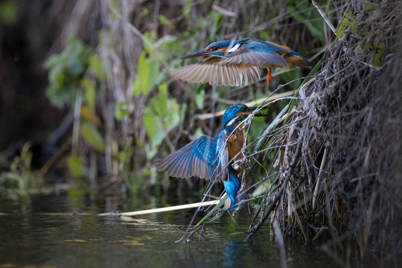 pescarus albastru pasare delta fotograf ionescu vlad