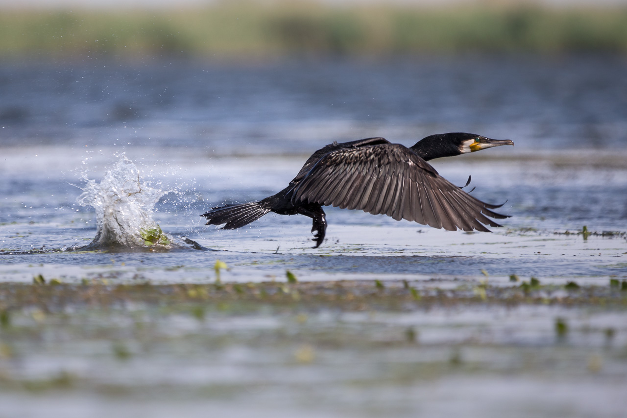 tura foto wildlife delta dunarii ionescu vlad