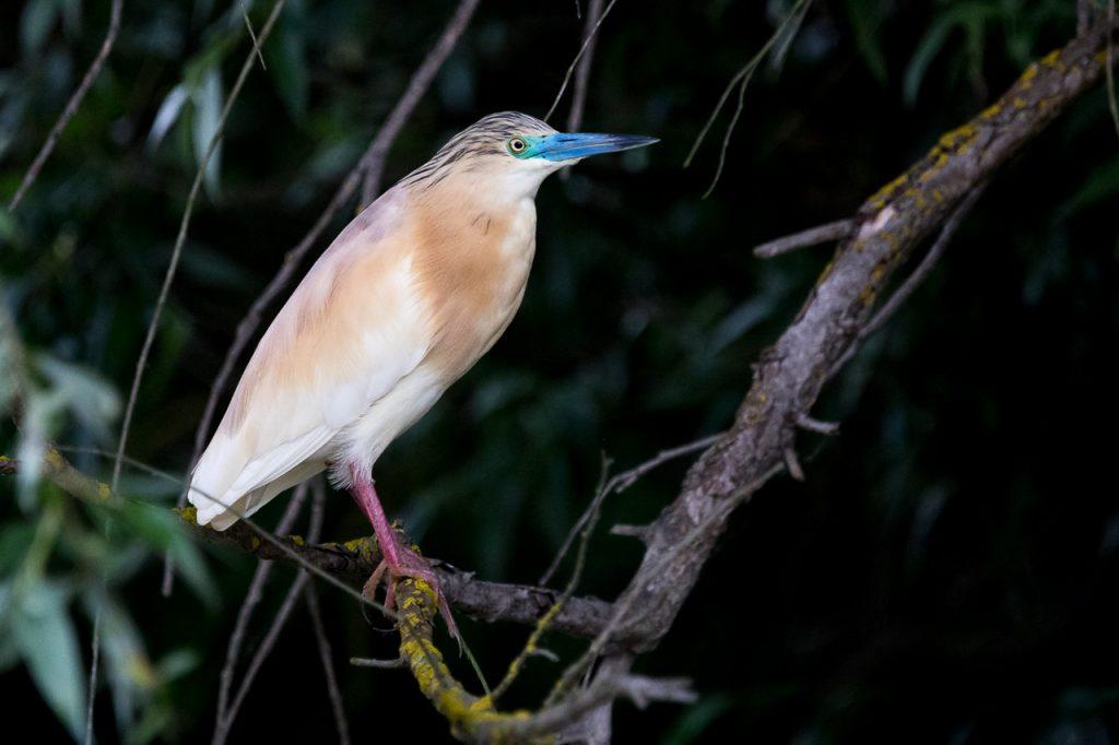 wildlife photography delta fotograf ionescu vlad